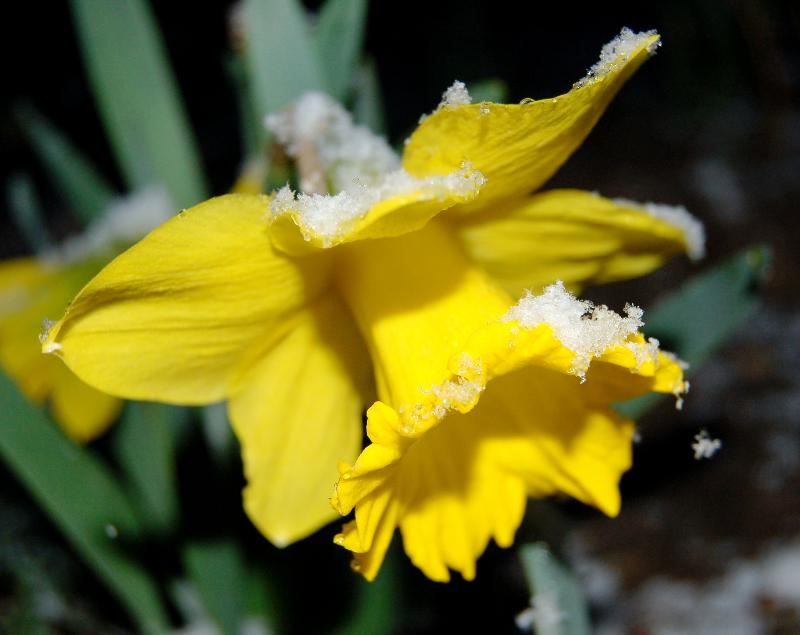Daffodil with snow