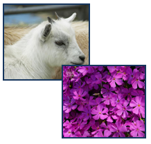 Baby Goat and Flowers