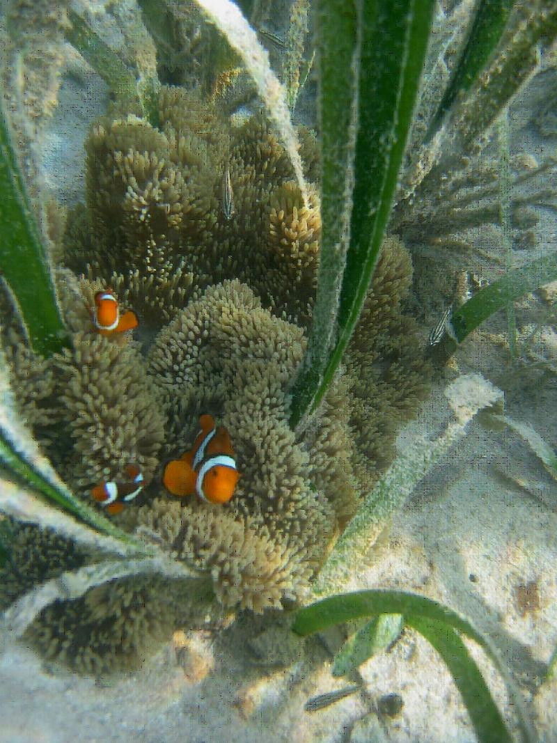 Seagrass beds animals - In Papua New Guinea Above And Throughout The Coral Triangle Seagrass Beds Are Closely Linked To Coral Reef Species And Are A Nursery For Many Reef Fish