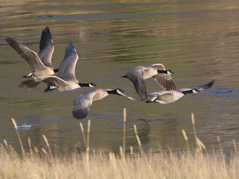 Fall Geese in Yellowstone