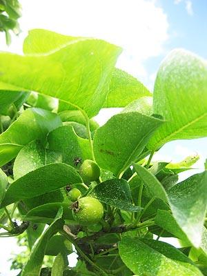 Young Asian Pears
