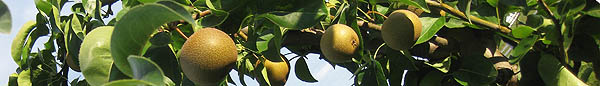 Row of pears to pick