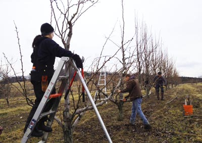 Asian Pear Pruning for Spring