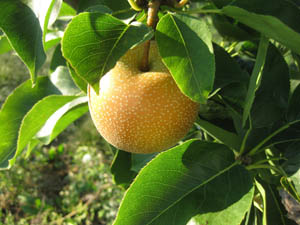 harvest this pear