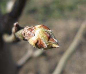 Asian Pear Young Bud