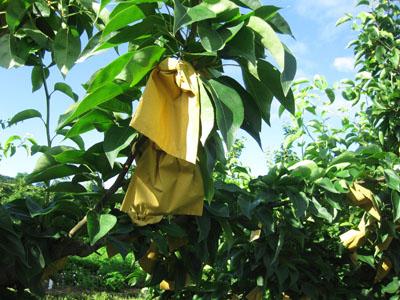 Asaju Asian Pear bagged