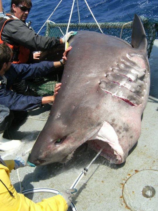 Deep-C Shark capture
