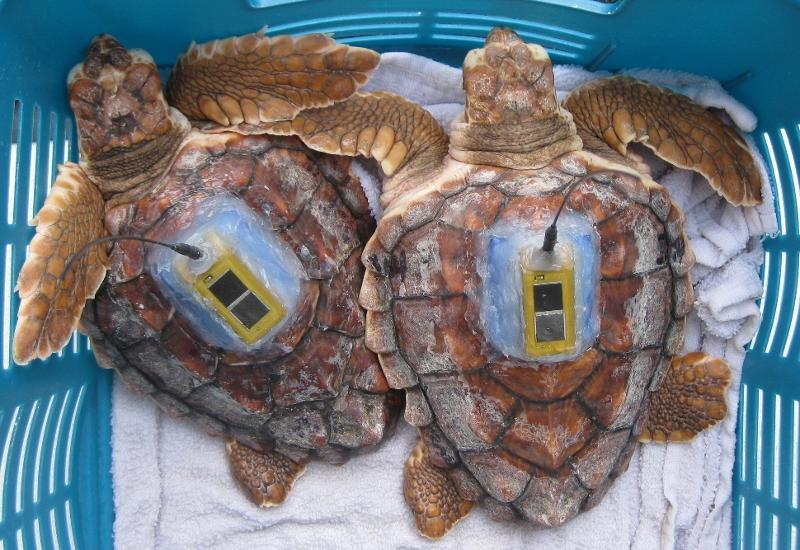 Mansfiled turtles