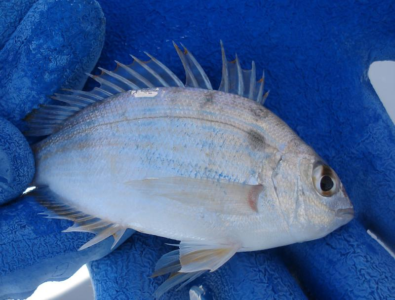 pinfish blue