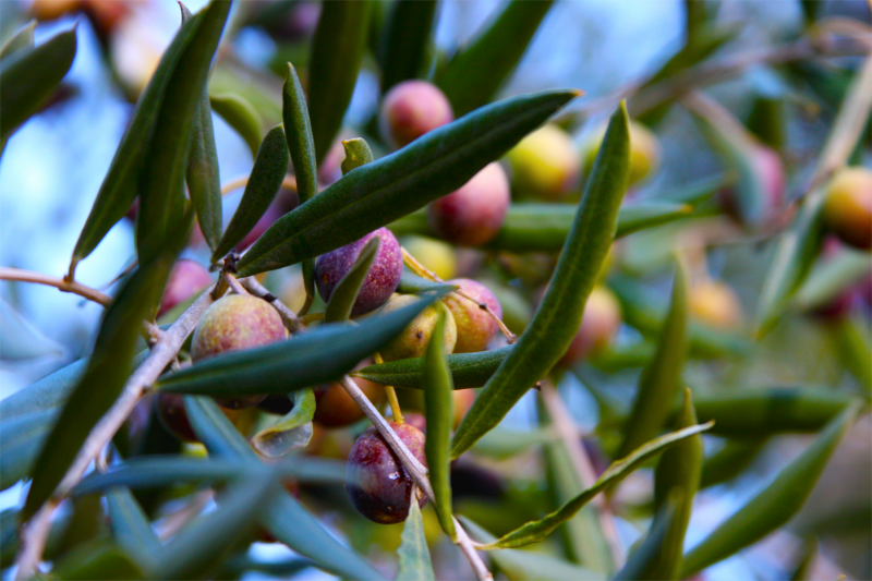 The Olive Press olives on a tree