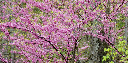 Red Bud trees blooming spring 2011
