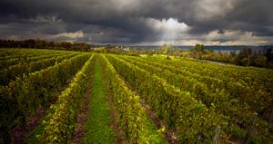 Anyelas Vineyard by John Francis McCarthy
