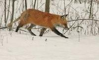 Fox Hunting 1 by Joe Woody