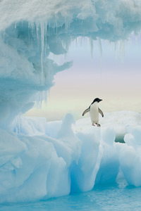 Adelie Penguin by Ted Tatarzyn