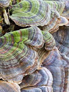 Turkey-Tail Mushrooms by Susan C. Larkin