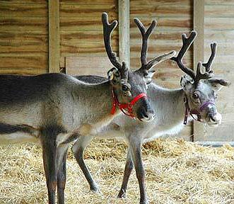Santa's reindeer in stable