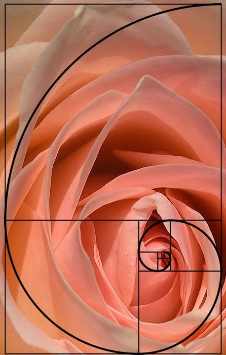 Fibinaci spiral on a rose