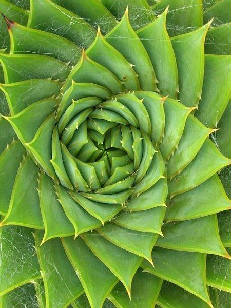 Fibonacci cactus