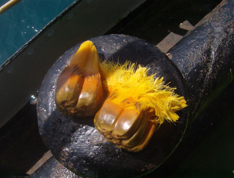 Pandamus: Fruit from Kiripati Islands
