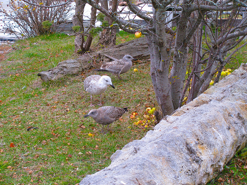 Gulls checking out the fallen apples