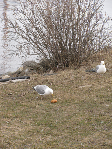 Bagels for the gulls