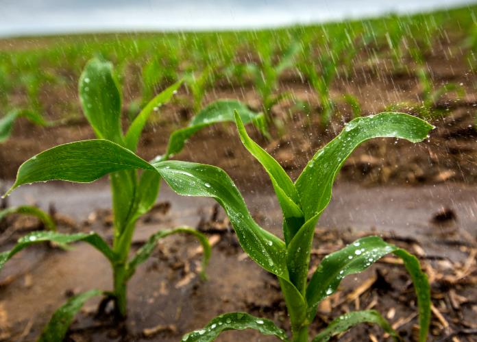 Corn in rain