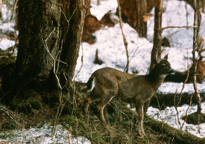 Sitka black-tailed deer rely on old-growth forest for winter forage. Photo by John Schoen.