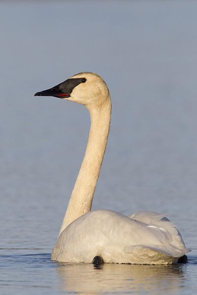 Trumpeter Swan by Milo Burcham