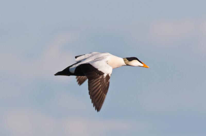 A Common Eider flying over the Arctic Refuge. Photo by Dave Shaw.