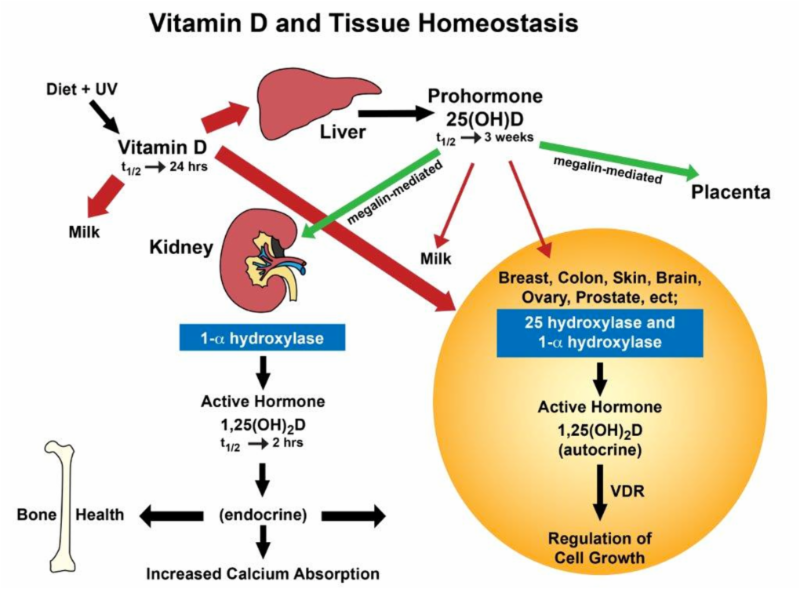 Is Daily Dosing Important. Within The Cell Enzymes Metabolize Vitamin D3 To 25ohd And Then 125oh2d Which Works Regulate Growth Perform Other Helpful. Wiring. Homeostasis Diagram Of Vit D At Scoala.co