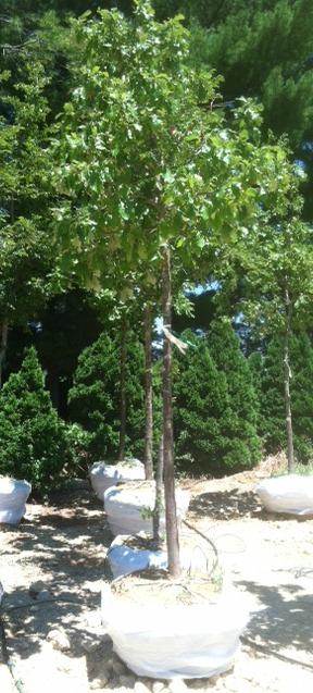 many oaks above ground