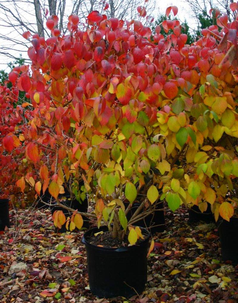 Full Fall Color Fragrant Viburnum
