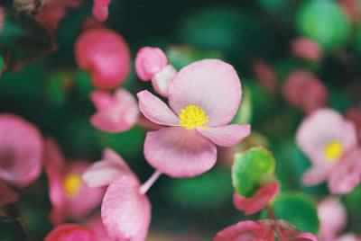 tiny-pink-flowers.jpg