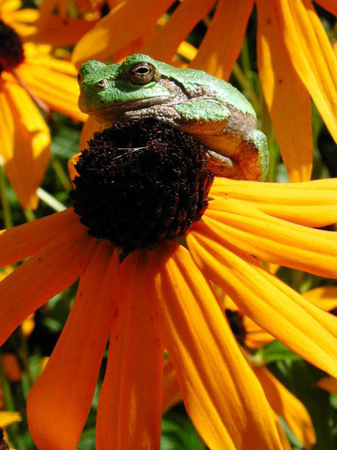 Image of Frog on Flower