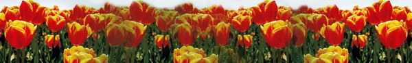 field tulips red yellow