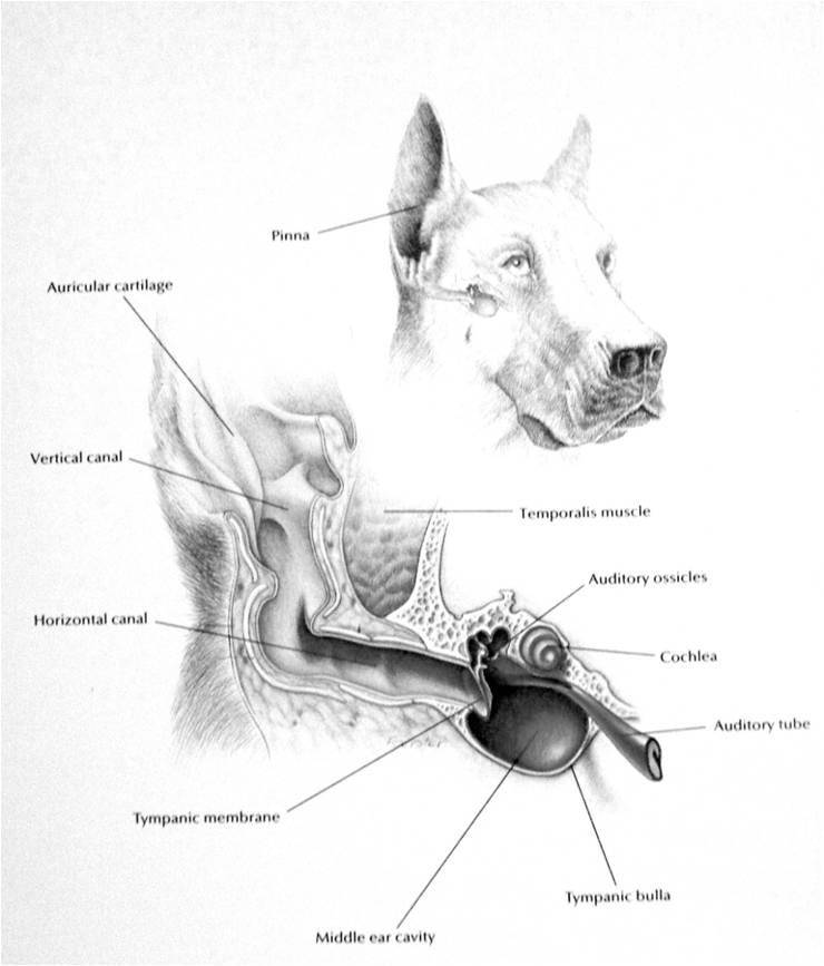 Dog Ear Diagram - Wiring Diagram