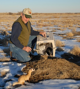 One of the first ferrets returned to Kansas, December 17, 2007 on the Barnhardt property
