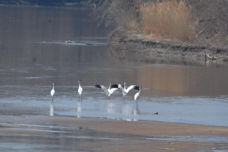 Whooping Cranes in Kaw River