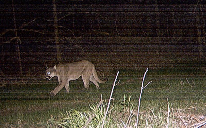 Niobrara Mountain Lion