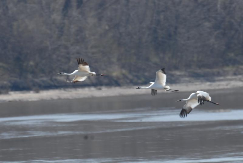 Flying Whooping Cranes