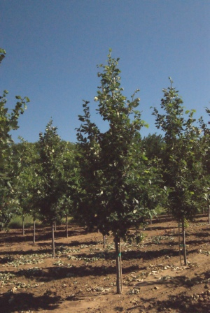 Quercus madcanielli Clemons (Heritage Oak)