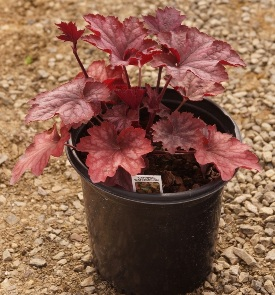 Carnival Watermelon Heuchera