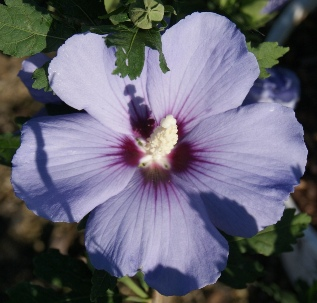 Blue Satin Hibiscus flower