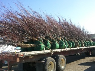 fresh load of trees