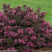 Spilled Wine Weigela