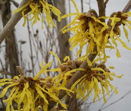 Arnold's Promise Witchhazel