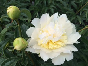 PAEONIA Honey Gold