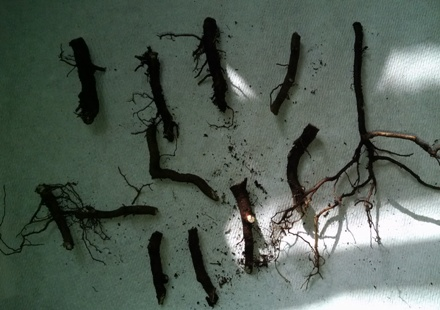 Tiger Eyes Root Cuttings