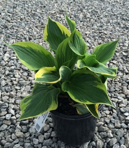 HOSTA Wide Brim #1