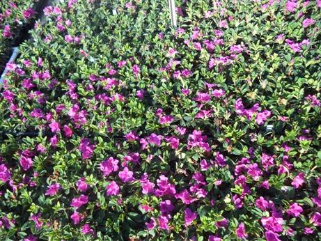 Bloom A Thon Azaleas